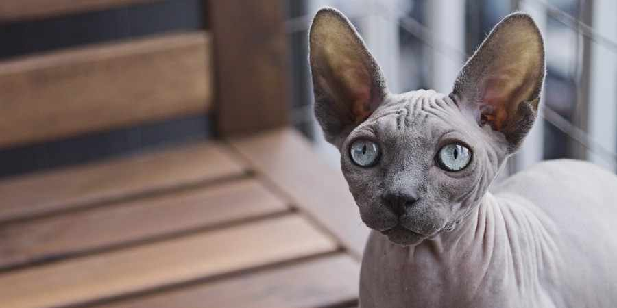sphynx cat and kittens located in in Alberta (AB)