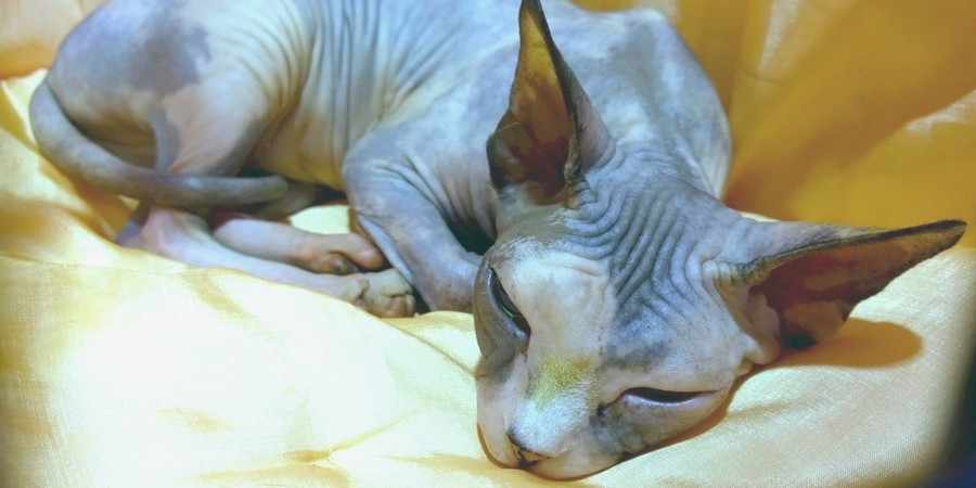 sphynx cat and kittens located in in West Midlands