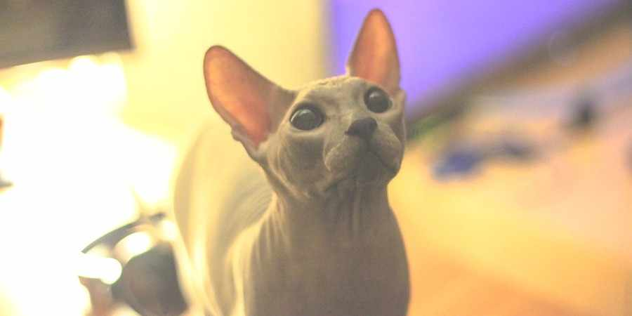 sphynx cat and kittens located in in Louisiana (LA)