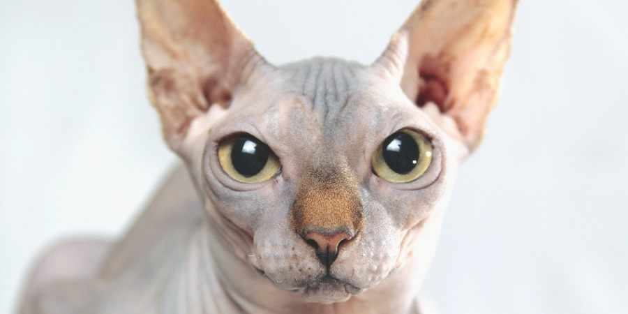 sphynx cat and kittens located in in Ivanovo