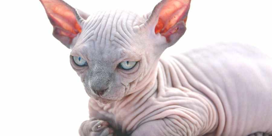 sphynx cat and kittens located in in Orange, New South Wales