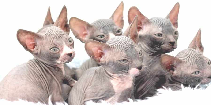 sphynx cat and kittens in Nova Scotia (NS)