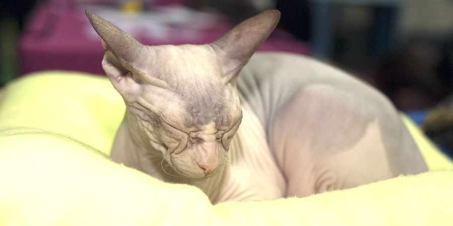 sphynx cat and kittens located in in Durham
