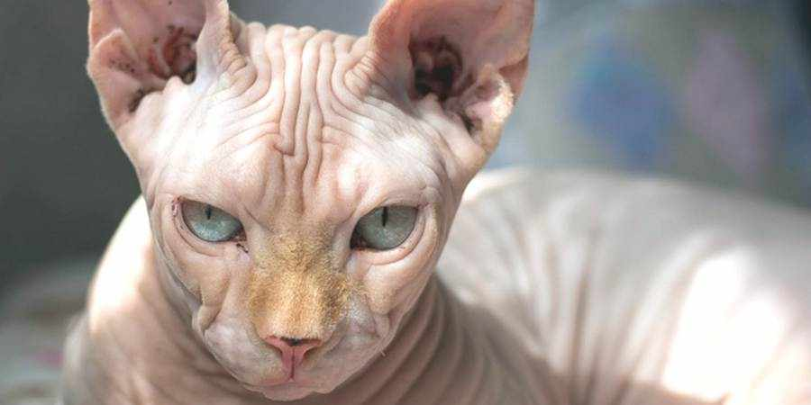 sphynx cat and kittens located in in Windsor