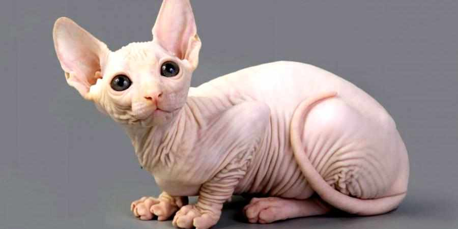 sphynx cat and kittens in New Hampshire (NH)