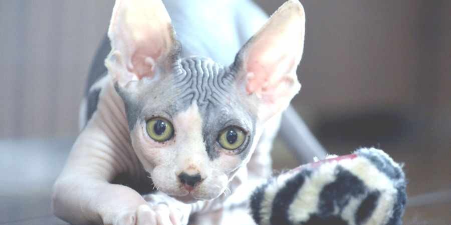 sphynx cat and kittens in Quakers Hill, New South Wales