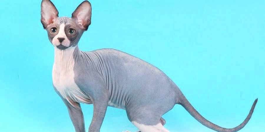 sphynx cat and kittens located in in Hollywood