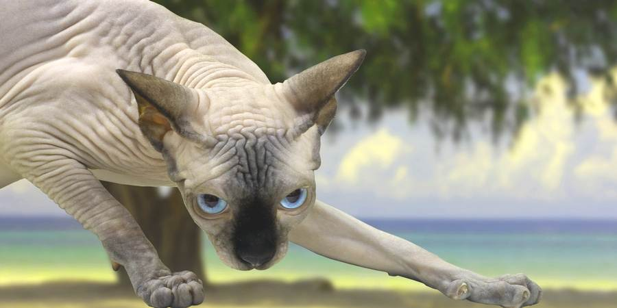 sphynx cat cattery in California (CA)