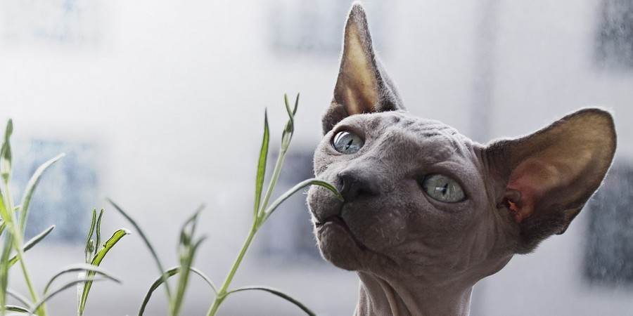 local sphynx cat cattery in Louisiana (LA)
