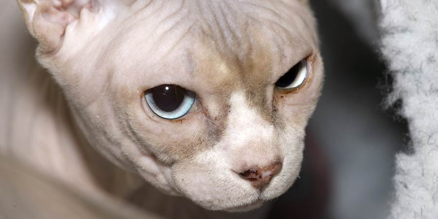 local sphynx cat cattery in New South Wales