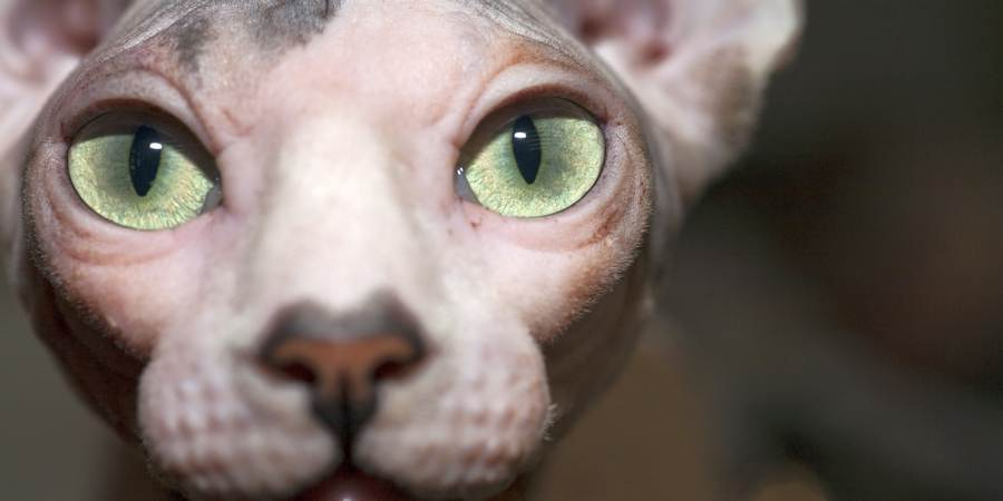 local sphynx cat cattery in North Richland Hills, Texas (TX)