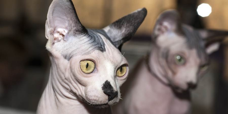sphynx  cattery in Kingaroy