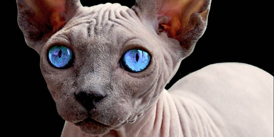 sphynx  cattery in Hollis, New Hampshire (NH)