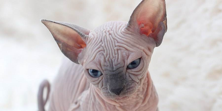local sphynx  cattery in East Midlands