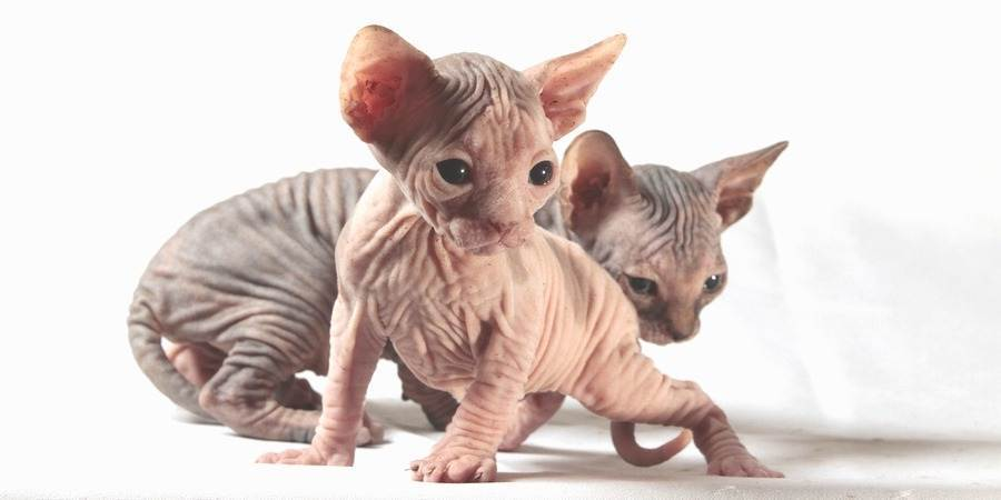 local sphynx cat cattery in Chicago, Illinois (IL)
