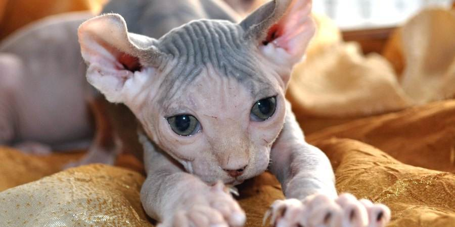 local sphynx cat cattery in South Dakota (SD)