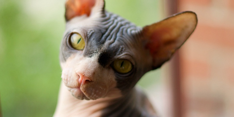 sphynx cat cattery in Bristol