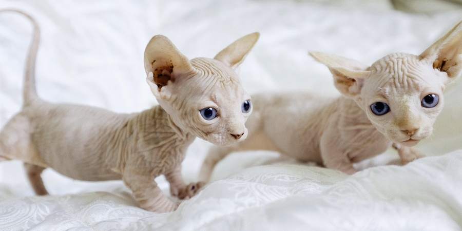 sphynx  cattery in Oklahoma City, Oklahoma (OK)