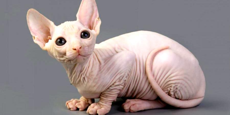 local sphynx cat cattery in California (CA)