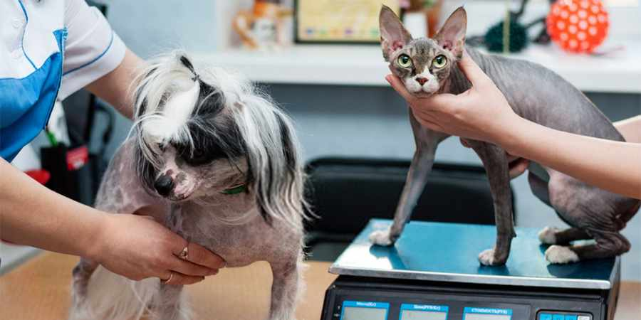 sphynx cat vet clinic in Atlanta