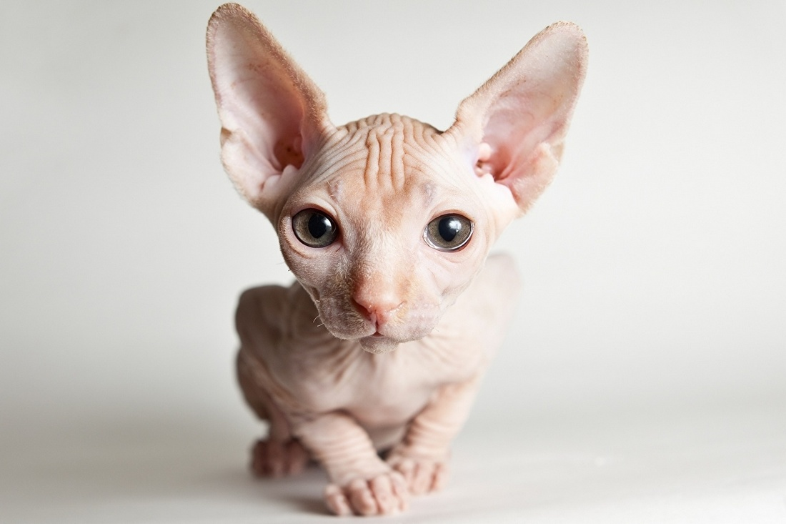 Sphynx cats and Sphynx kittens - Sphynx cats and kittens