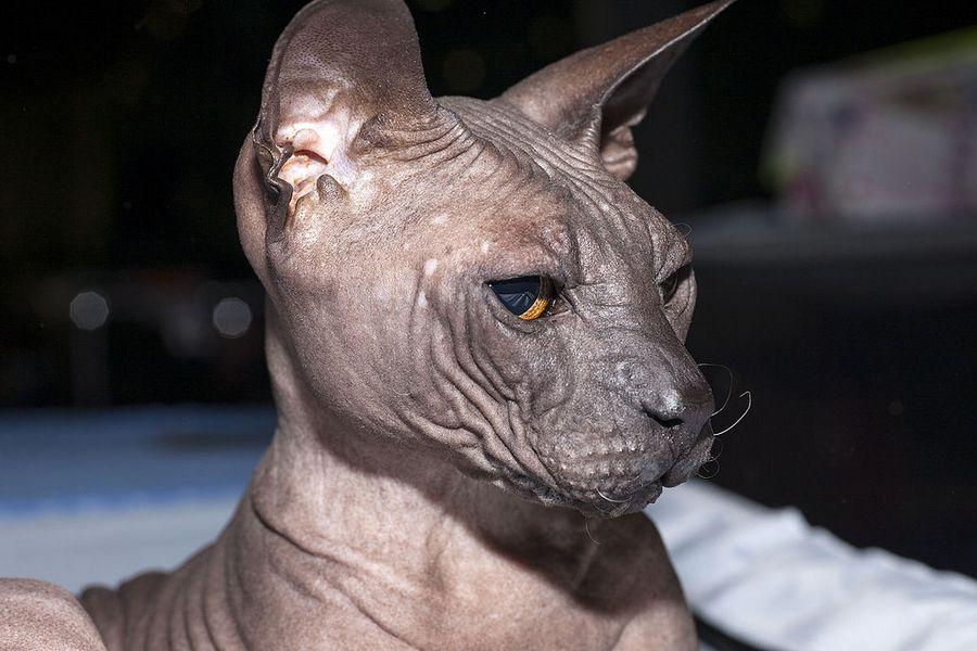 Sphynx cat adopt