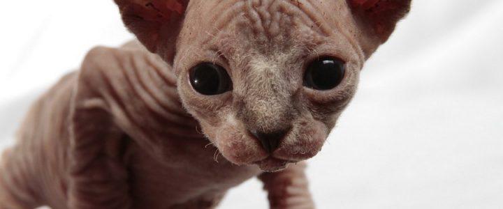 Adopting Sphynx Kitten