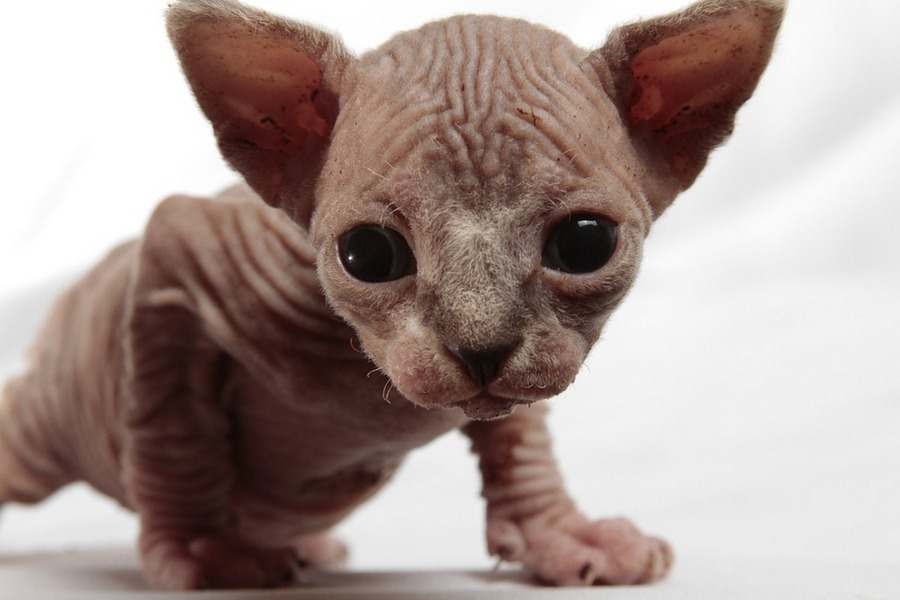 Adopting Sphynx Kitten - Sphynx cats and kittens