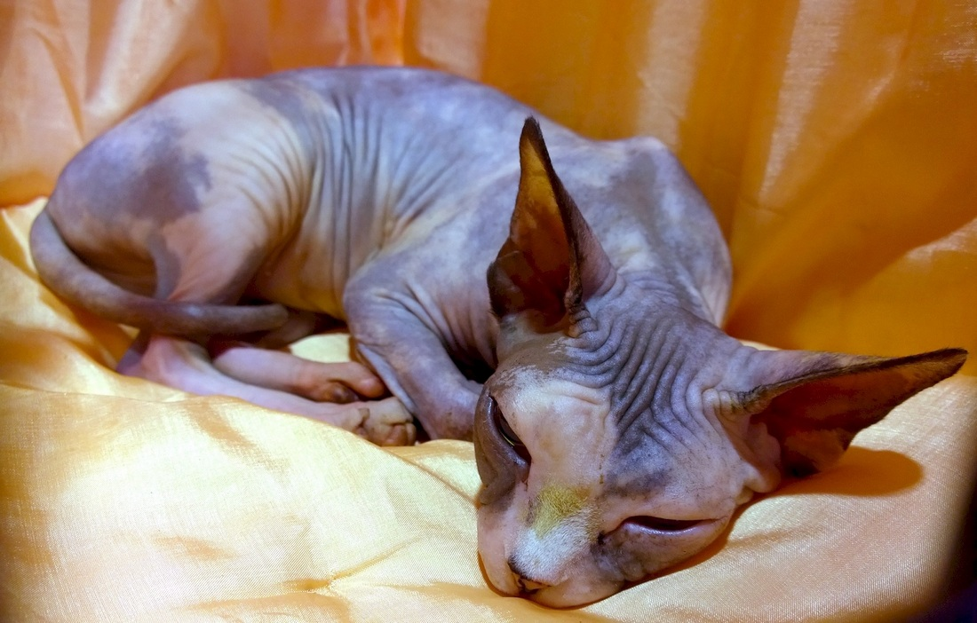 Coloring Sphynx