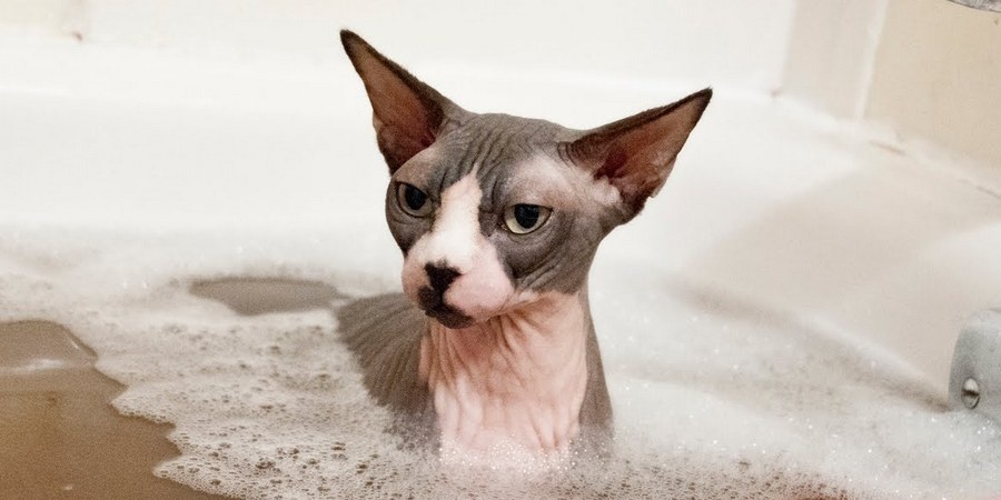 bath sphynx cat