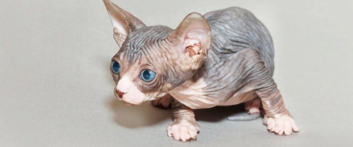 sphynx cat breeders