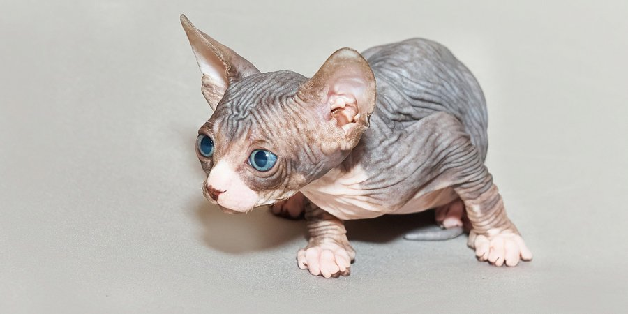 sphynx cat breeders