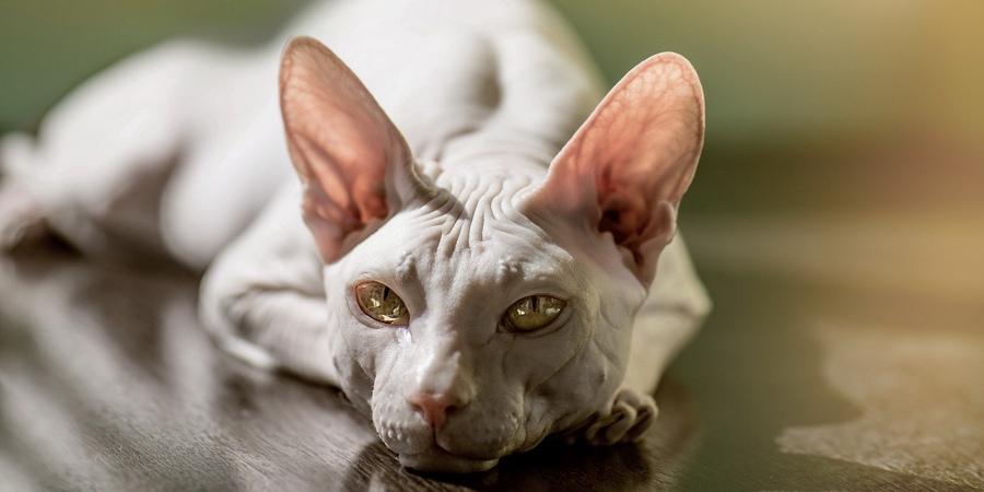 adult sphynx cat