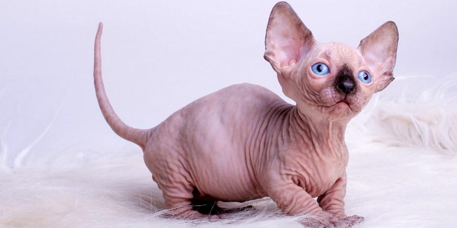 Choosing Sphynx Kitten