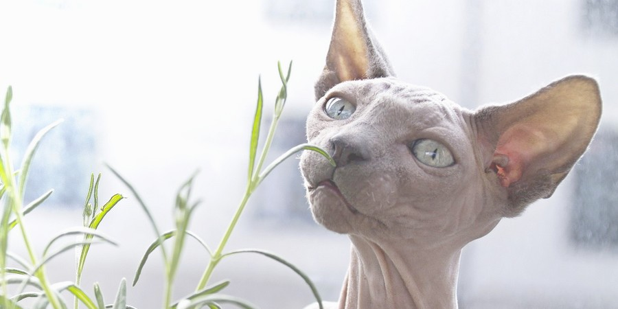 Sphynx Cats And Indoor Plants