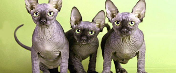 Choose Your Sphynx Kitten