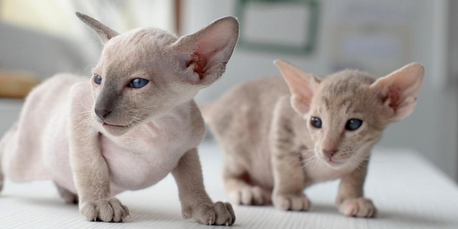 peterbald kittens
