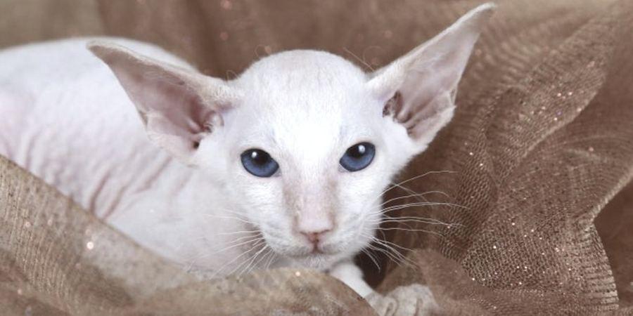 peterbald sphynx kitten