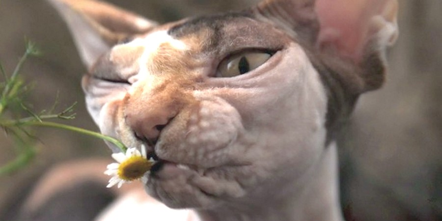 Sphynx Cats And Flower