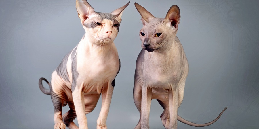 sphynks cat colors