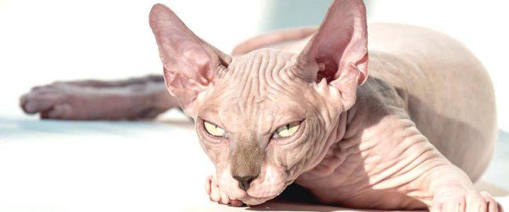 sphynx cat care