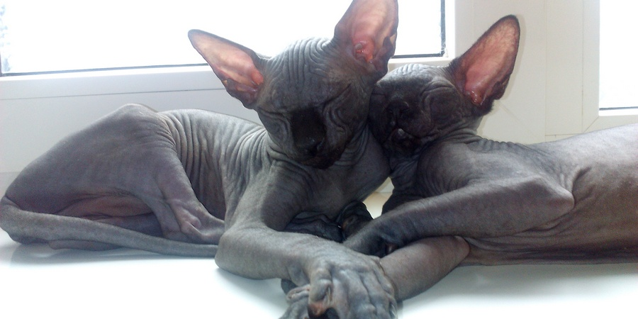 two sphynxes