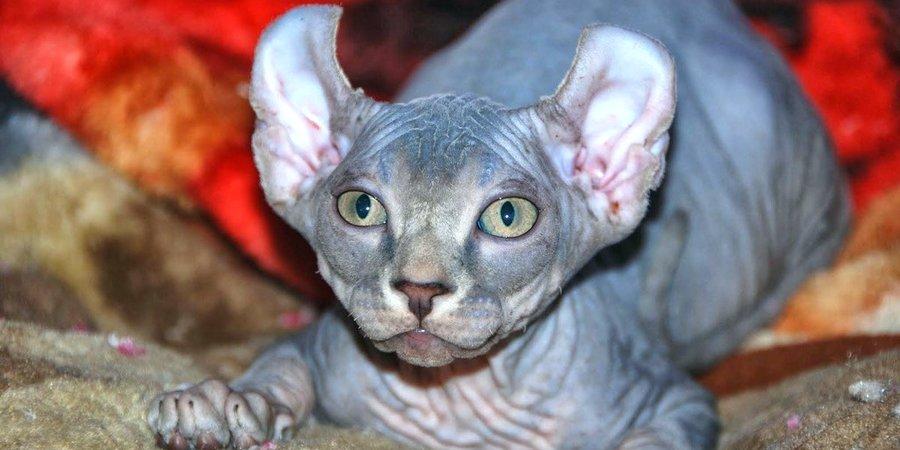 elf cat