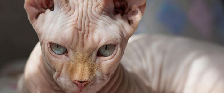 sphynx breed cat