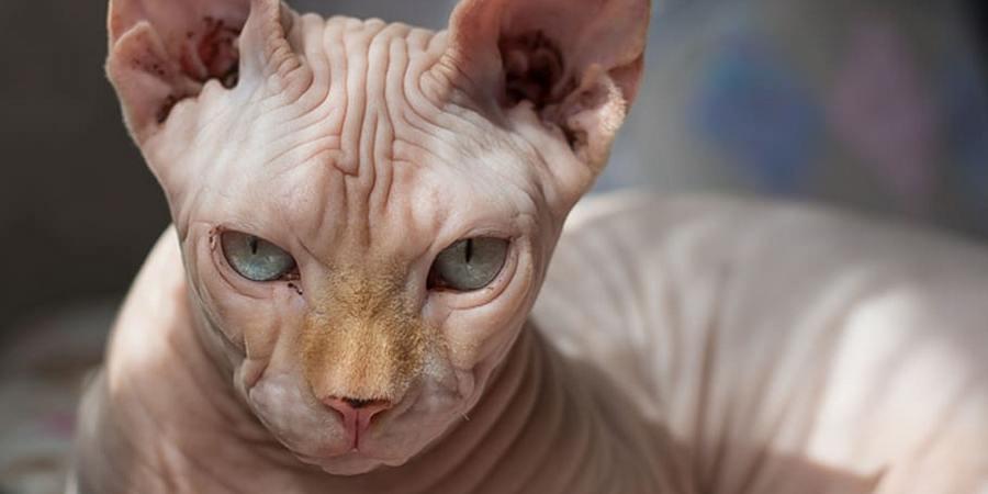 sphynx breed cat