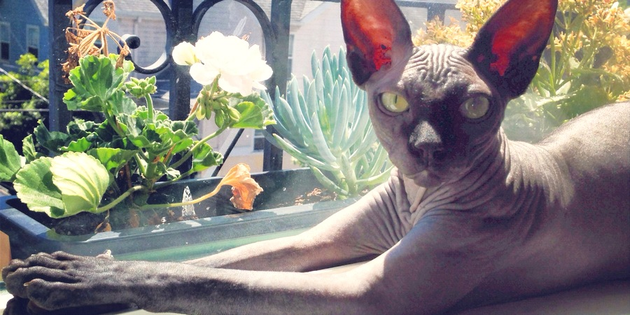 sphynx cat and flowers