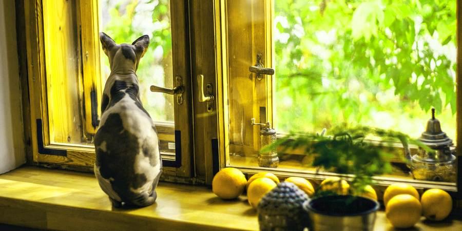 sphynx cat at windows