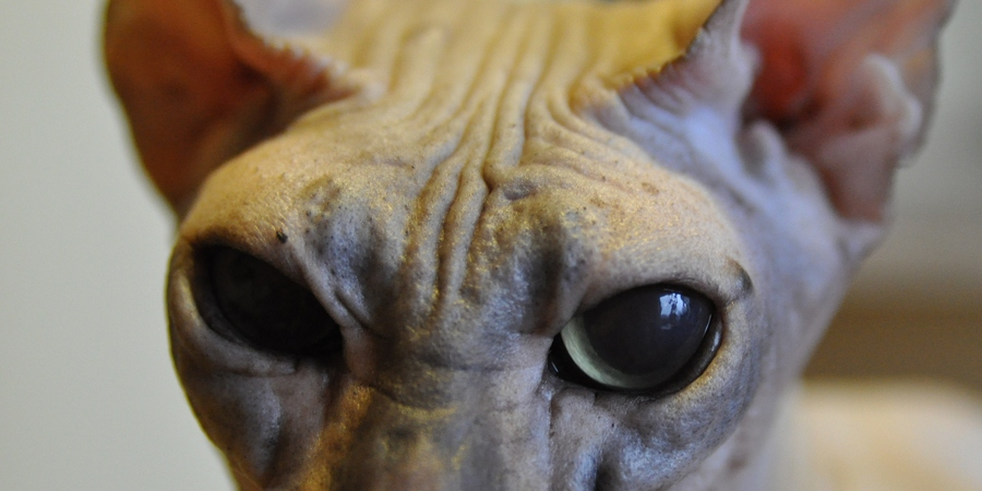 Acne in Sphynx cat