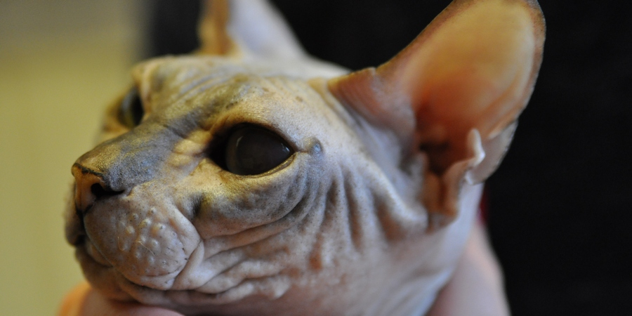 Comedones on Sphynx cat
