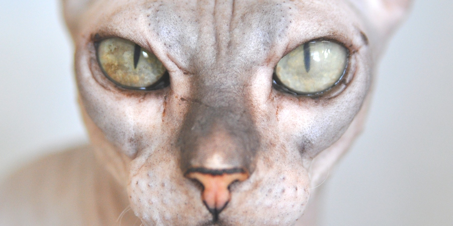 Eye of Sphynx cat